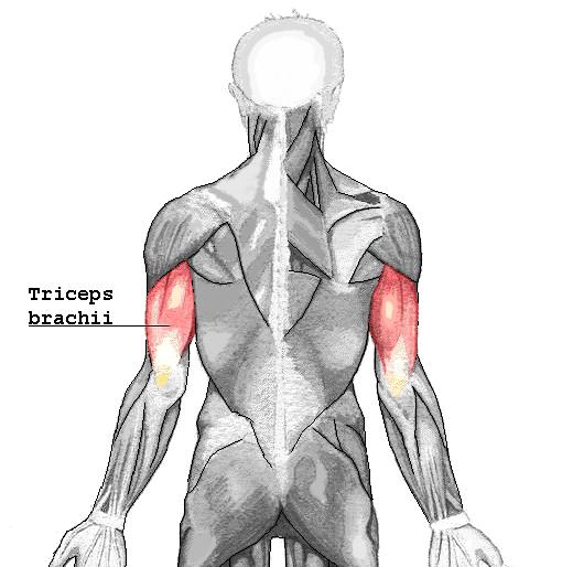 Triceps brachiaux, sollicités lors de la poussée en marche nordique